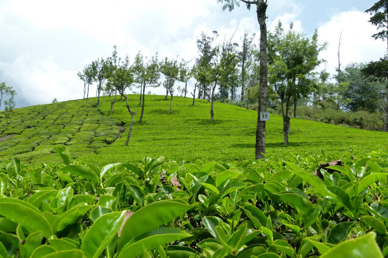 Senderismo en los campos de Té de Munnar (Kerala, India)